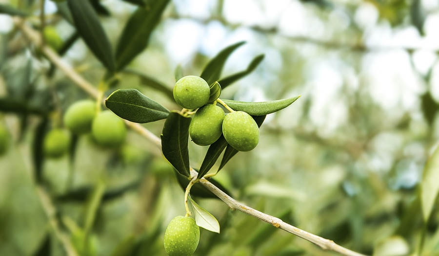 8 Health Benefits of Olive Leaf Extract