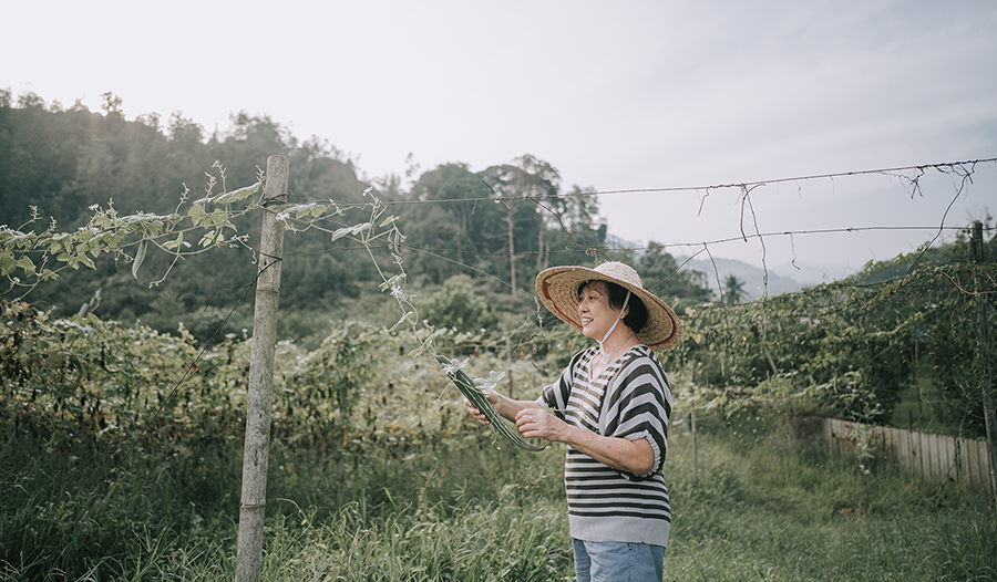 Woman with straw hat in her garden picking bitter melon off the vine